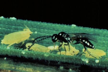 Aphidius: Nützling gegen Blattläuse