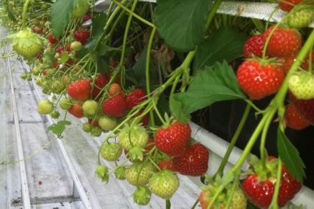 Früchte in unterschiedlichen Reifestadien