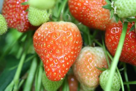 ERDBEEREN gehören botanisch betrachtet zur Gattung der Sammelnussfrüchte